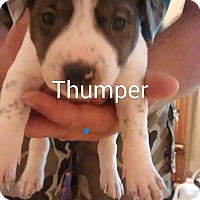 Adopt A Pet :: Thumper - Surprise, AZ