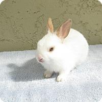 Adopt A Pet :: Boogie - Bonita, CA