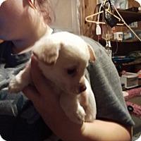 Adopt A Pet :: Simon - springtown, TX