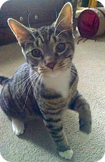 Domestic Shorthair Cat for adoption in Lambertville, New Jersey - Beau