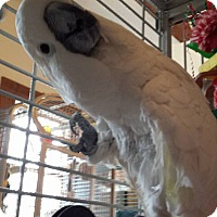 Cockatoo for adoption in Blairstown, New Jersey - Snowbird - umbrella