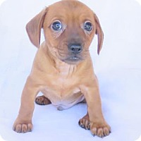Adopt A Pet :: Gunnie (f/k/a) Hip Hop - Scottsdale, AZ