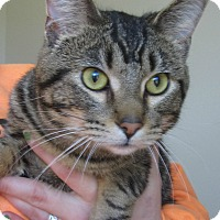 Domestic Shorthair Cat for adoption in Menomonie, Wisconsin - Jordy