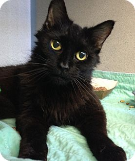 Domestic Mediumhair Cat for adoption in Middletown, New York - Kadima