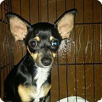 Miniature Pinscher/Chihuahua Mix Puppy for adoption in Santa Ana, California - Mini - (RC)
