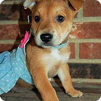 Shepherd (Unknown Type)/Terrier (Unknown Type, Medium) Mix Puppy for adoption in Sawyer, North Dakota - Nina