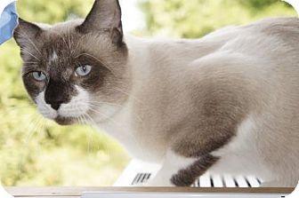 Snowshoe Cat for adoption in Philadelphia, Pennsylvania - Bull