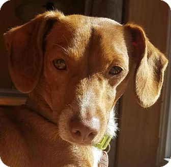 Dachshund/Miniature Pinscher Mix Dog for adoption in Columbia, Tennessee - Ralph in VT