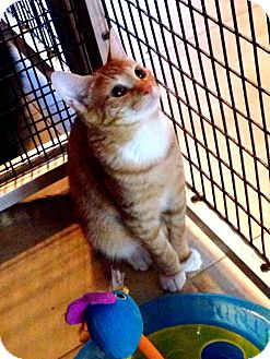 Domestic Shorthair Kitten for adoption in Deerfield Beach, Florida - Leo