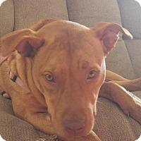 Pit Bull Terrier/Labrador Retriever Mix Dog for adoption in Overland Park, Kansas - Sissy