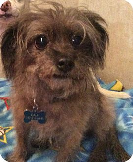 Yorkie, Yorkshire Terrier/Brussels Griffon Mix Dog for adoption in Oakland, Florida - Little Joe