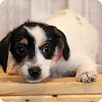 Adopt A Pet :: Jazzie - Waldorf, MD