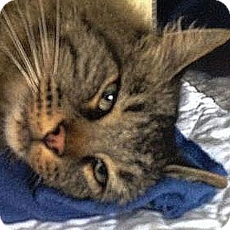 Maine Coon Cat for adoption in Port Angeles, Washington - Ranger
