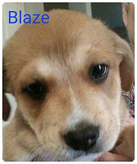 Border Collie Mix Puppy for adoption in Allen, Texas - Blaze