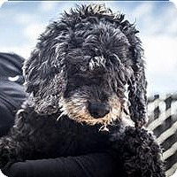 Poodle (Toy or Tea Cup) Mix Dog for adoption in Napa, California - Nicky