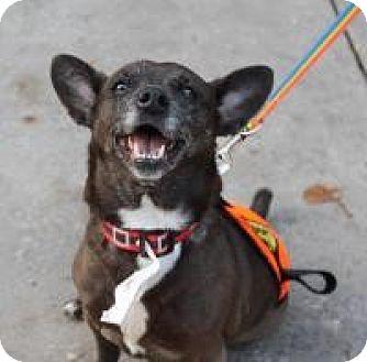 Dachshund/Chihuahua Mix Dog for adoption in New Smyrna Beach, Florida - Brandi
