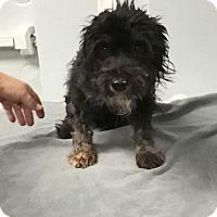 Adopt A Pet :: Star - Weston, FL