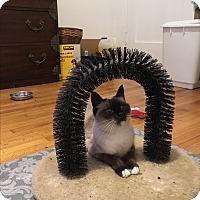Siamese Cat for adoption in Los Angeles, California - Babushka