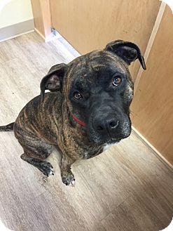 Mastiff/American Pit Bull Terrier Mix Dog for adoption in oklahoma city, Oklahoma - Bruno Man