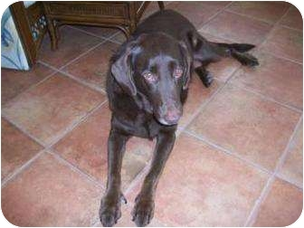 Labrador Retriever Dog for adoption in Altmonte Springs, Florida - Star