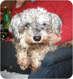 Poodle/Cairn Terrier Mix Dog for adption in Seattle, Washington - Mini ...
