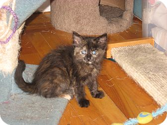 Domestic Shorthair Kitten for adoption in Portland, Maine - Fiona