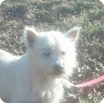 Westie, West Highland White Terrier Mix Dog for adoption in Windham, New Hampshire - Lila