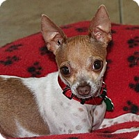 Adopt A Pet :: Tiny Ruby - La Habra Heights, CA