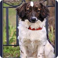 Adopt A Pet :: Laffy - Albany, NY