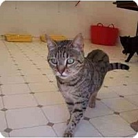 Adopt A Pet :: Cheetah - El Cajon, CA
