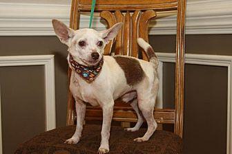 Chihuahua/Rat Terrier Mix Dog for adoption in Matthews, North Carolina - Mikey