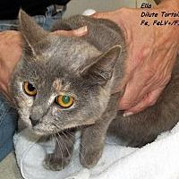 Domestic Mediumhair Cat for adoption in Hazard, Kentucky - Ella