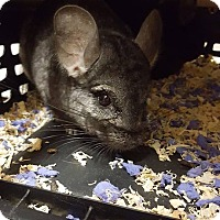 Chinchilla for adoption in Patchogue, New York - James