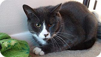 Domestic Shorthair Cat for adoption in Westbury, New York - Iron Man