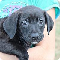 Adopt A Pet :: Fox - Harmony, Glocester, RI