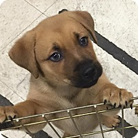 Adopt A Pet :: Manny - Eastpointe, MI