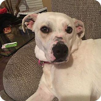Labrador Retriever/Boxer Mix Dog for adoption in Harrison, Arkansas - Paris