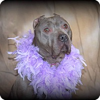 American Staffordshire Terrier Mix Dog for adoption in Kewanee, Illinois - Azula
