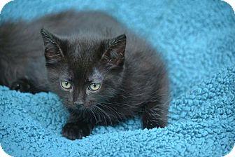 Domestic Shorthair Kitten for adoption in Houston, Texas - Sambo