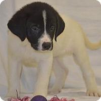 Adopt A Pet :: M Pup Mari - Baltimore, MD