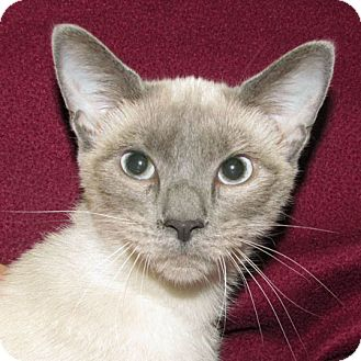 Siamese Cat for adoption in Madison, Indiana - Elvira