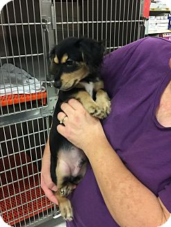 Dachshund Mix Puppy for adoption in Fort Myers, Florida - Mr. Stubbs