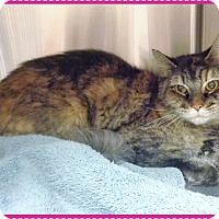 Domestic Mediumhair Cat for adoption in Marietta, Georgia - MACY