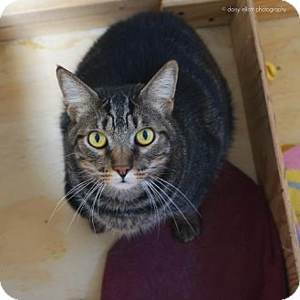 Domestic Shorthair Cat for adoption in Tucson, Arizona - O'Reilly