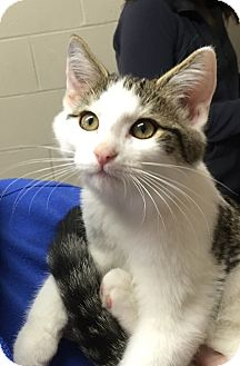 Domestic Shorthair Kitten for adoption in Barrington, New Jersey - Winslow