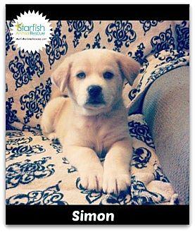 Great Pyrenees/Labrador Retriever Mix Puppy for adoption in Plainfield, Illinois - Simon