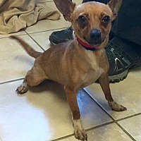 Adopt A Pet :: Angie - Phoenix, AZ