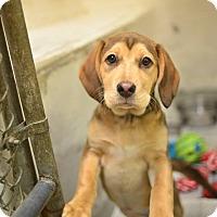 Adopt A Pet :: Ava-- April's Female Pup - Beacon, NY