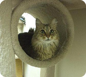 Domestic Longhair Cat for adoption in Pekin, Illinois - Clarisse