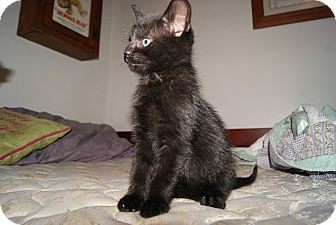 Domestic Shorthair Kitten for adoption in Trevose, Pennsylvania - Purry